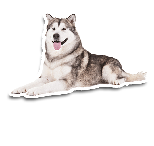 You want Alaskan Malamute?